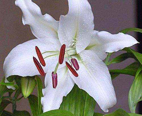 White Lily Florist (Casa Blanca Oriental Lily - 2 Bulbs 16/18 cm - Dazzling White!)