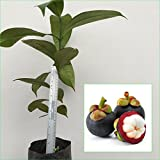 "1 Mangosteen Tree Tropical Plant 20"" Tall Garcinia mangostana Queen of fruit Direct from Thailand Free Phytosanitary Cert."