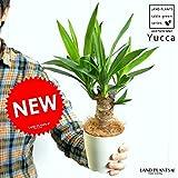 LAND PLANTS 青年の樹 ドラセナ・ユッカ 白色プラスチック鉢セット 4号サイズ