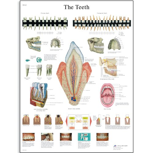 3B Scientific VR1263L Glossy Laminated Paper The Teeth An...