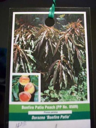 3'-4' Bonfire Patio Peach Fruit Tree Plant Trees NOW Ship To All 50 States USA ! by rianiq07