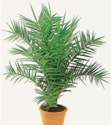 Semillas Palmera Canaria (Phoenix canariensis) Orgánico Planta de habitaciones: Amazon.es: Jardín