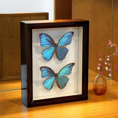 昆虫標本箱(ドイツ箱)製造30年の実績  ドイツ箱モルフォ蝶2頭入れ B01I1UJCLS
