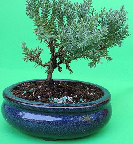 Fertilized Juniper Tree Bonsai sold by JM Bamboo