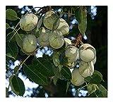 IDEA HIGH Sclerocarya birrea SSP caffra - Marula - 3 Seeds