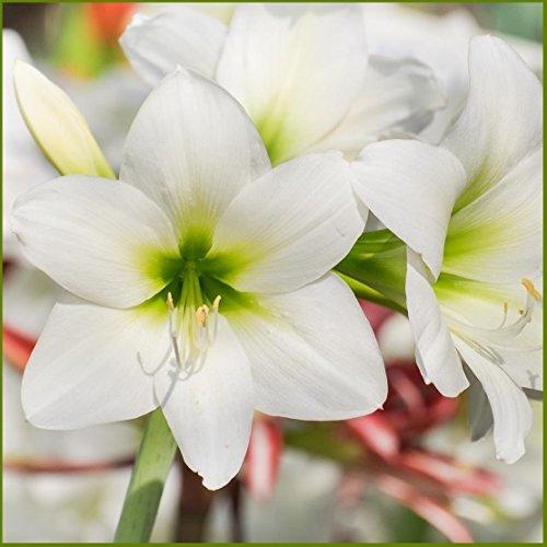 Amaryllis White Christmas - 28/30cm Bulb