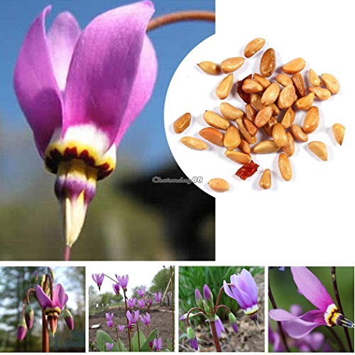 (pack/50pcs: Home Gardening Ornamental Plants Shooting Star Flower Seeds c1my)