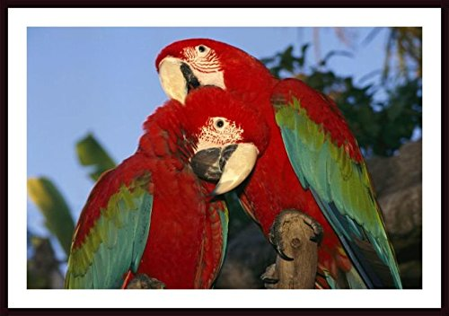 Printfinders National Geographic Collection Framed Photographic Print, A Pair of Captive Red and Green Macaws at Busch Gardens by Richard Nowitz - Green Macaws Framed