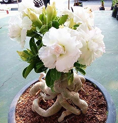 Amazon Seeds Shopp White Desert Rose Seeds Potted Flowers
