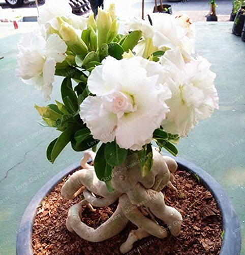 Seeds Shopp White Desert Rose Seeds Potted Flowers Seeds 100% True Seed Air Purification Home Garden Potted Flower 1 - Rose Desert Plant Seeds
