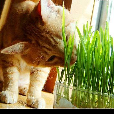 FidgetKute Cat Grass 1oz/approx800 Seeds Green Including Growing Guide Pet Care Tools from FidgetKute