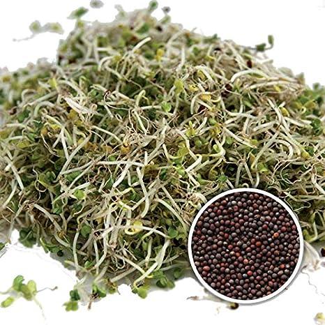 BIO Keimsprossen Brokkoli Raab Brokkoletti 1 kg Samen zur Sprossenzucht Sprossen Microgreen Mikrogrün Saatzucht Bardowick