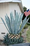 Blue Agave Americana Cactus Plant 7-10 Inches (Maguey)
