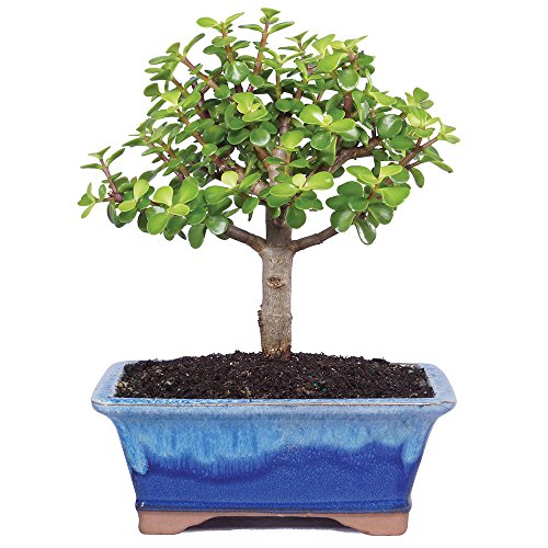 Brussel's Live Dwarf Jade Indoor Bonsai Tree - 5 Years Old; 6'' to 8'' Tall with Decorative Container by Brussel's Bonsai