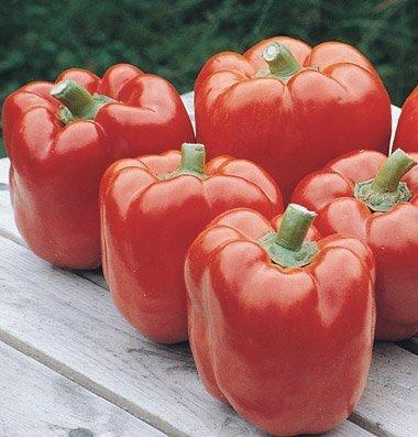 David's Garden Seeds Pepper Bell Red Knight D2309GZ (Red) 25 Hybrid Seeds