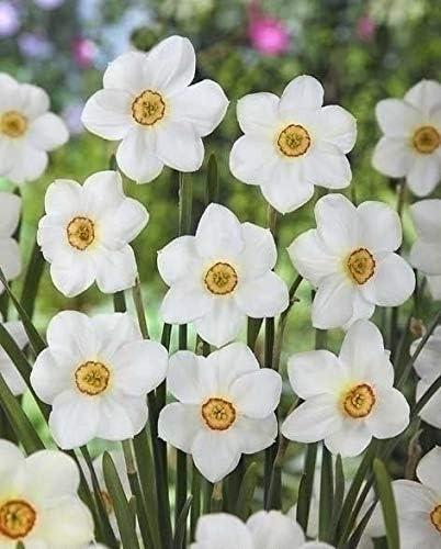 Fiori Bianchi Da Giardino.Bulbi 20 Pezzi Narciso Poeticus Actaea Fiori Bianchi Perenni Da