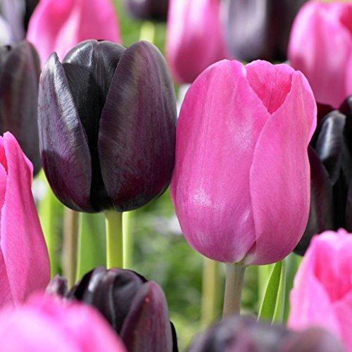 Van Zyverden Tulips Lip Stick Blend Set of 15 bulbs by VAN ZYVERDEN