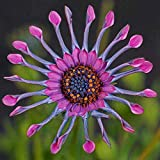 New Rare Hierloom 50 Trailing African Daisy Seeds ,easiest growing flower, hardy plants flower seeds