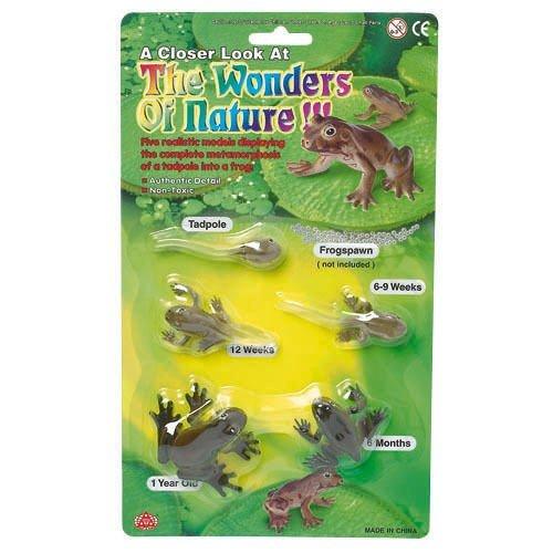 AAA 12839 Tadpole to Frog Metamorphosis Life Cycle of the Frog (Lifecycle Of A Frog)