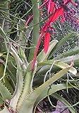 10 Seeds Aechmea bracteata Plant