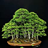 20 Seeds Chinese Juniper Bonsai Tree Juniperus Chinensis Fresh Seeds