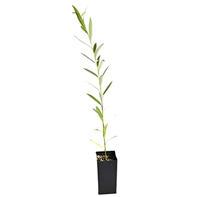 "AchmadAnam - Live Plant Willow Tree Austree Salix Spp - 26""-32"" inches : Garden & Outdoor"
