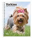 Yorkies 2020 6 x 7.75 Inch Weekly Engagement Calendar, Animals Small Dog Breeds Yorkshire Terriers