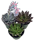 3 Different Desert Rose Plants - Echeveria - Easy to grow/Hard to Kill! -3'' Pots