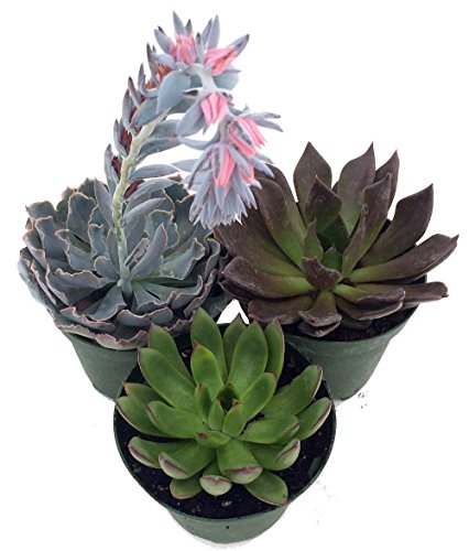- 3 Different Desert Rose Plants - Echeveria - Easy to grow/Hard to Kill! -3