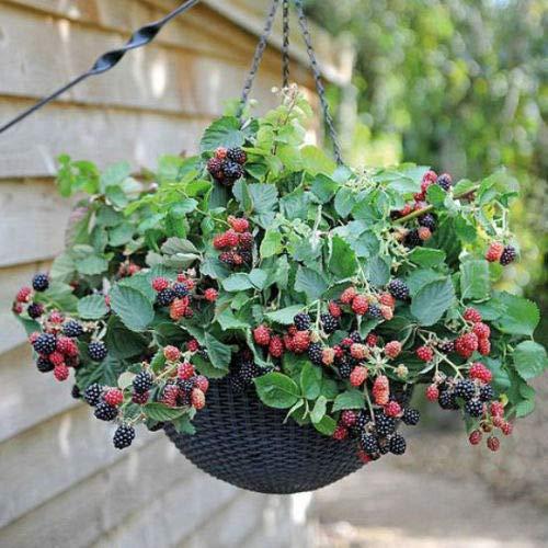 fruit bearing bonsai - 3