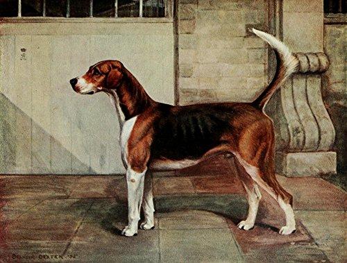 Hounds Belvoir (Posterazzi Foxhound of Twentieth Century 1914 Belvoir Dexter Poster Print by C. Bradley, (24 x 36))
