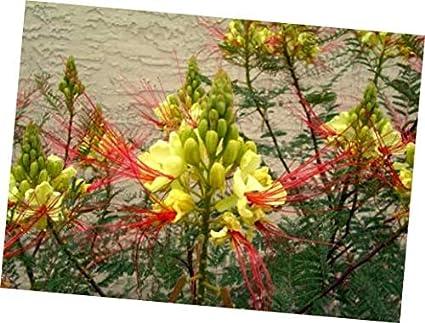 Amazon Com Seeds Caesalpinia Gilliesii Dwarf Shrub Tree Yellow