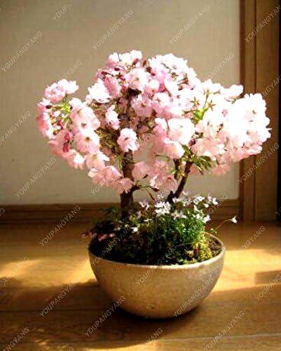 5 Seeds Beautiful Pink Sakura Fower Cherry Blossom Bonsai Tree