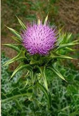 Seeds Blessed Milk Thistle (Silybum marianum) Russian Organic Herb Seed