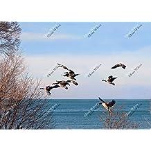 Canada Geese in Flight Goose Landing Niagara on the Lake, Lake Ontario Original Fine Art Photography Wall Art Photo Print