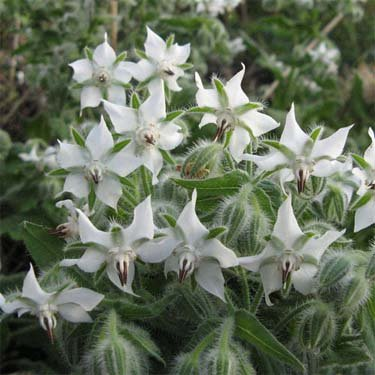 Outsidepride White Borage Herb Plant Flower Seeds 1000 Seeds
