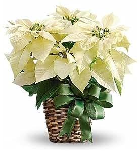 White Holiday Poinsettia - Live Plant
