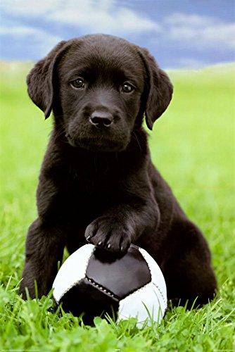 Labrador Poster