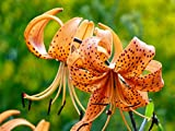 5 Orange Tiger Lily Bulbs-- Tigrinium Splendens End of Season Closeout!