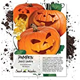 buy Package of 100 Seeds, Jack O' Lantern Pumpkin (Cucurbita pepo) Non-GMO Seeds by Seed Needs now, new 2020-2019 bestseller, review and Photo, best price $3.85