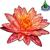 Greenpro Live Aquatic Plant Nymphaea Wanwisa Red Hardy Water Lilies Tuber for Aquarium Freshwater Fish Pond