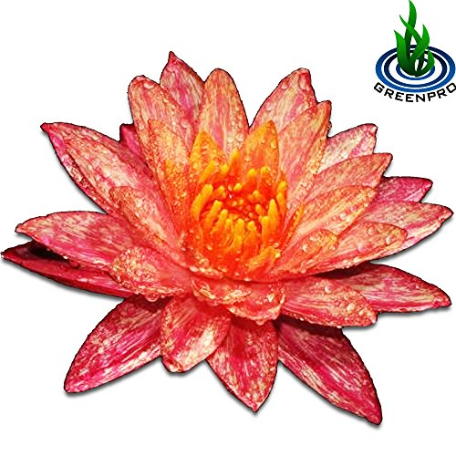 GreenPro Live Aquatic Plant Nymphaea Wanwisa Red Hardy Water Lilies Tuber for Aquarium Freshwater Fish Pond by