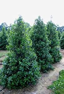 1 Starter Plant of Mugo Pine