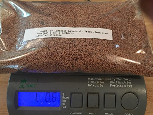 1 pound-240,000 fresh American Elderberry seeds (Sambucus canadensis) by earthwaterwindfire365