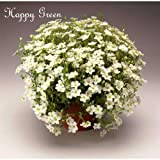 arenaria White - 50 Seeds - arenaria Montana - Perennial Flower - Alpine - Rock