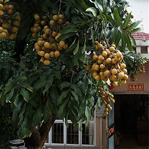 EgBert 4Pcs//Sac Graines De Longan Live Oeil De Dragon Exotique Longan Dimocarpus Sweet Tropical Fruit Arbre Graines