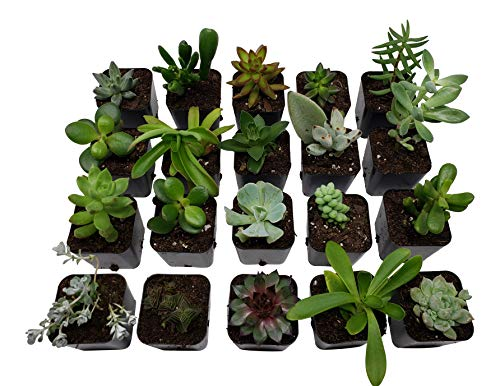 Succulent Plants [20 Pack Succulents] - Rooted 2 Inch Succulents in Planter Pots with Soil, Unique Live Indoor Plants for Decoration, Easy Care Plant Decor by Succulent Depot by Succulent Depot (Image #1)