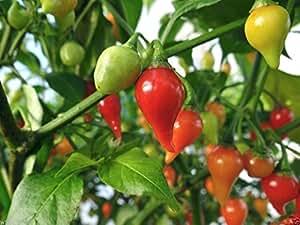 Red Biquinho Pepper (CAPSICUM CHINENSE) 1000 Brazilian Heirloom Pepper seeds !