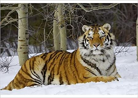 Siberian Tiger In The Snow  Poster    A2 SIZE
