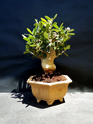 Olive tree - Bonsai - approximately 20 years old by mini bonsai (Image #4)